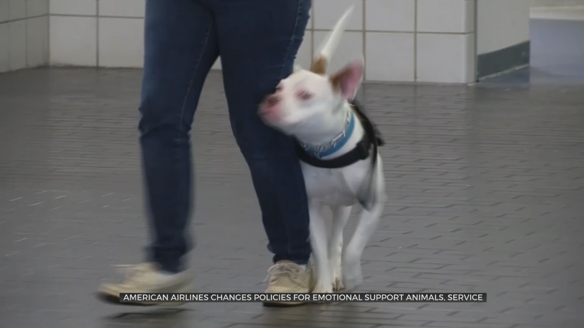 American Airlines Changes Policies For Emotional Support Animals, Service Animals
