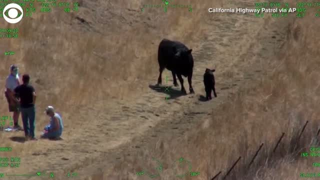 Watch: Couple Rescued After Being Chased By Cow In California