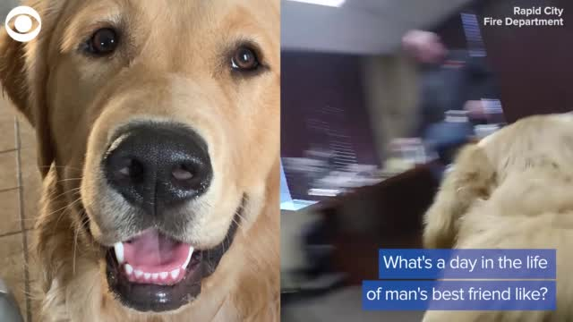 Watch: A Day In The Life Of A Fire Station Dog