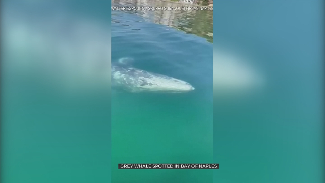 Watch: Grey Whale Makes Rare Visit To The Bay Of Naples