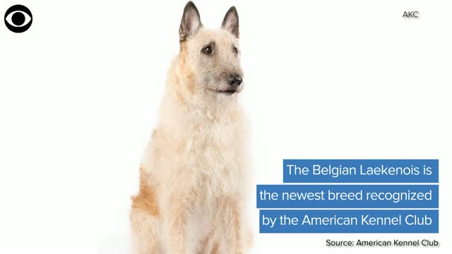 Belgian Laekenois Is Newest Breed Recognized By The AKC