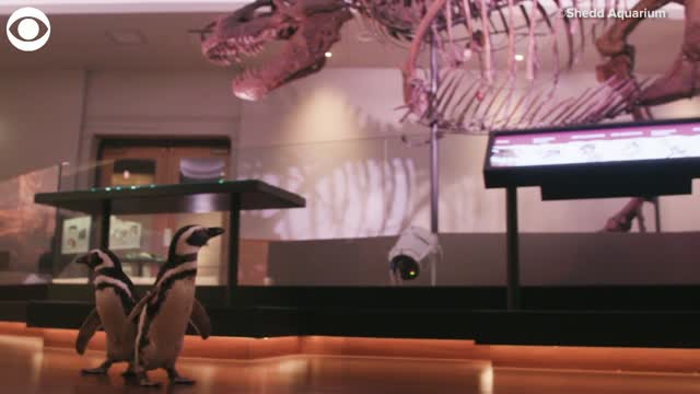 WATCH: The Penguins Izzy & Darwin Take A Field Trip To A Chicago Museum