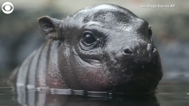 WATCH: Baby Pygmy Hippo Explores His New Home