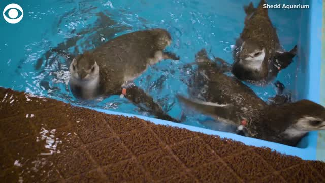 Watch: Penguins Go Swimming For The First Time