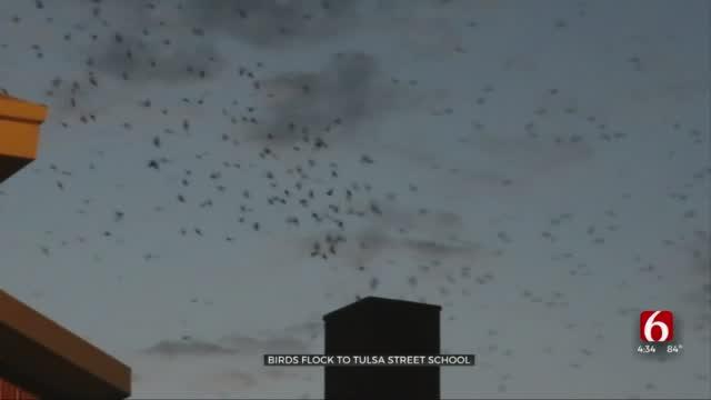 Flock Of Birds Assembles For Sunset Show At Tulsa Street School