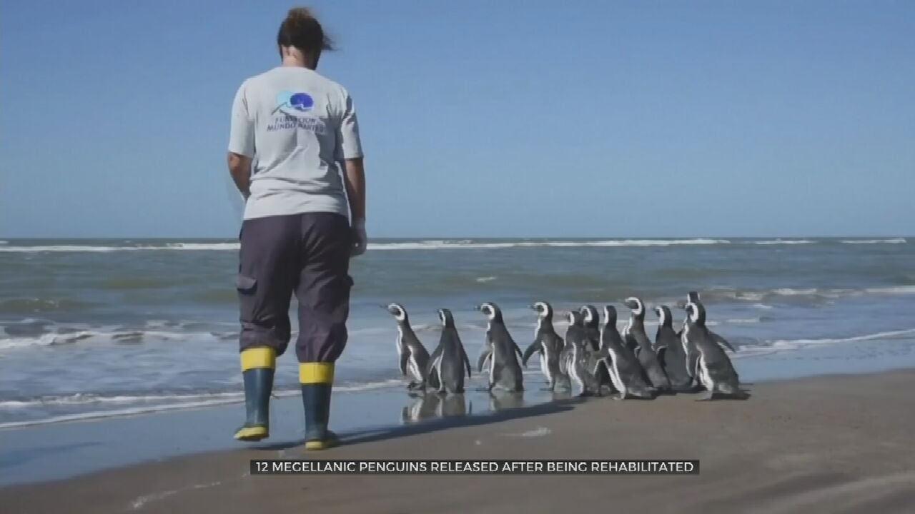 Watch: Magellanic Penguins Return To The Seas After Being Rehabilitated