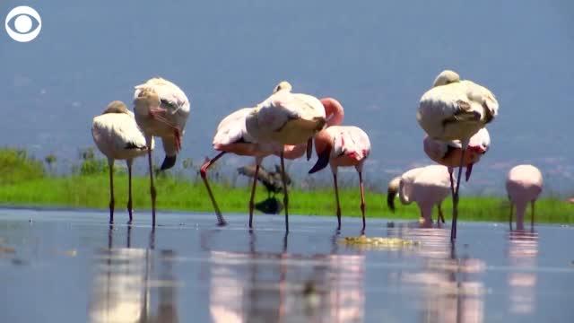 Watch: Flamingos Return To A Lake In Kenya