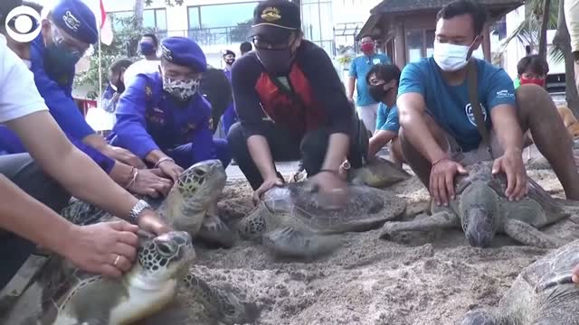 Watch: Green Sea Turtles Released Back Into The Water In Bali