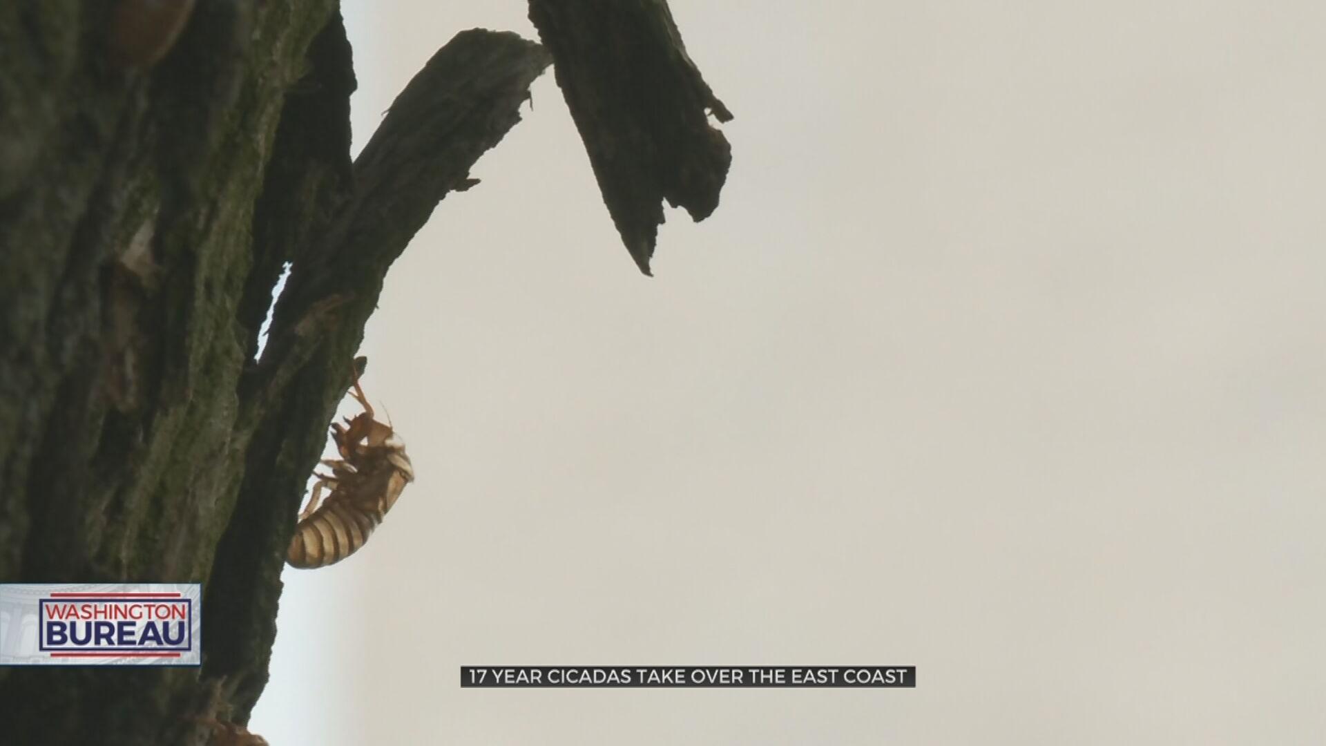 17-Year Brood X Cicadas Take Over Washington DC