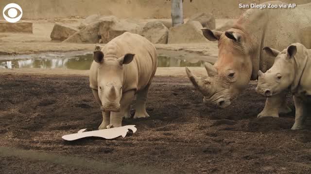 Watch: Rhino Celebrates First Birthday At The San Diego Zoo