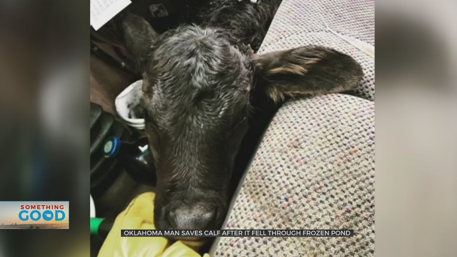 Oklahoma Rancher Saves Calf After It Fell Through Frozen Pond