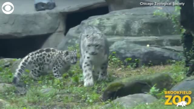 Watch: Snow Leopard Cub Makes Debut At Chicago's Brookfield Zoo