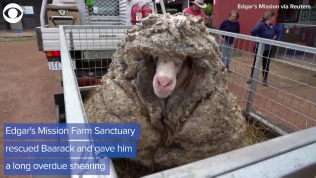 WATCH: Wild Sheep Gets A New Look