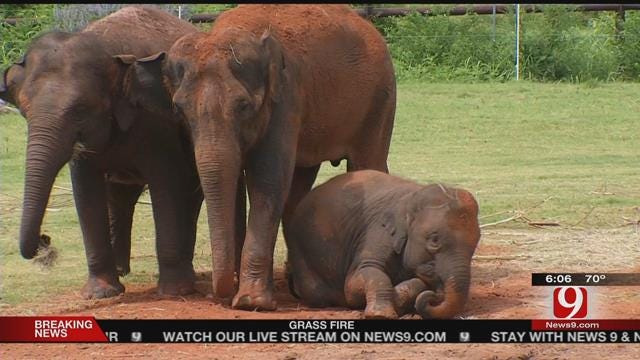 Zoo Shocked By Death Of Chai The Elephant