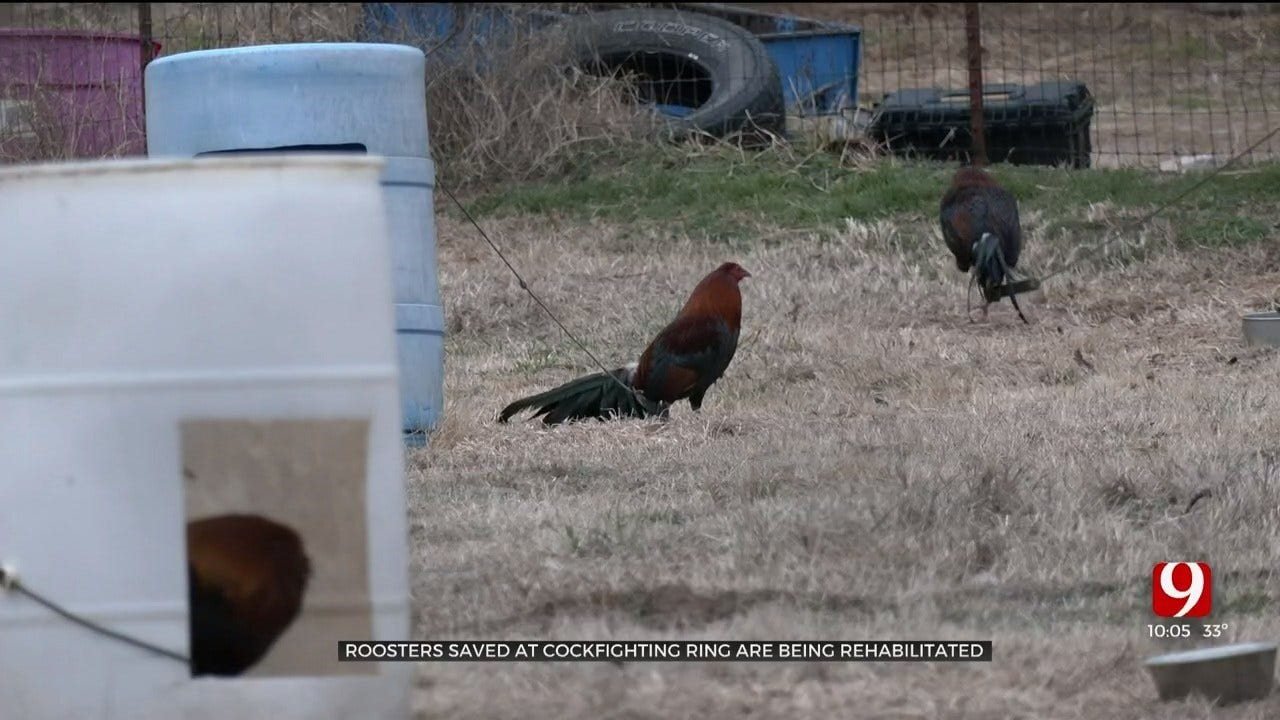 Oklahoma Nonprofit Works To Save Animals Seized In Lincoln Co. Cockfighting Ring