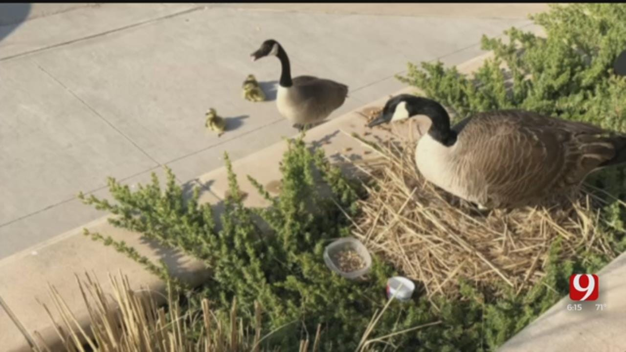 Geese Take Up Residence At Moore Police Department