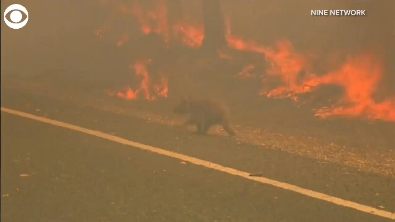 GRAPHIC VIDEO: Woman Rescues Koala Caught In Australian Brush Fire