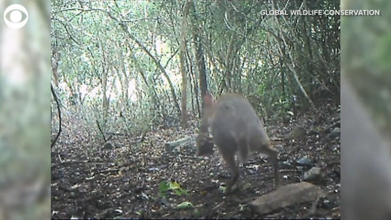 Elusive Fanged Mouse-Deer Caught On Camera After Disappearing For Almost 30 Years