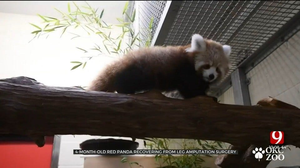 OKC Zoo's 4-Month-Old Red Panda Cub Recovering From Leg Amputation