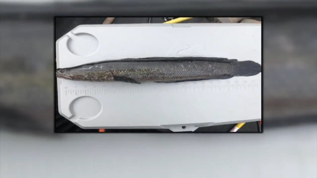 After Fish That Survives On Land Is Found, Georgia Tells Anglers: Kill Them ASAP