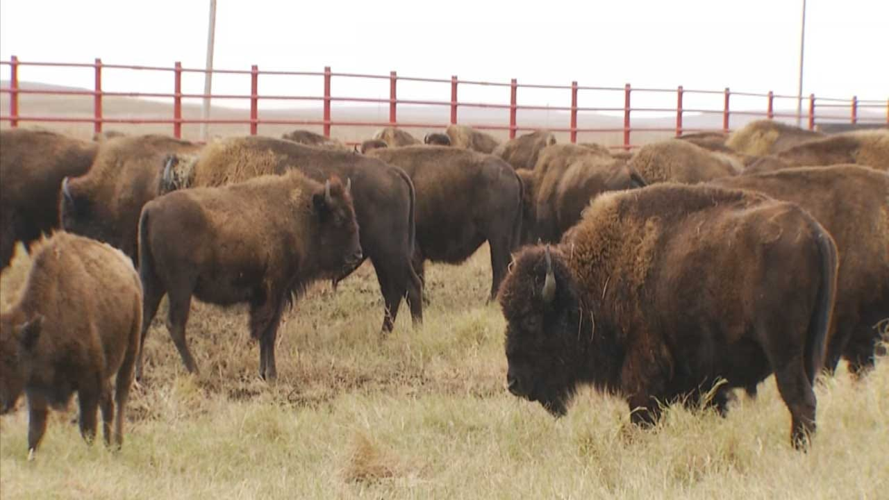 31 Bison From Grand Canyon Sent To Oklahoma Quapaw Tribe