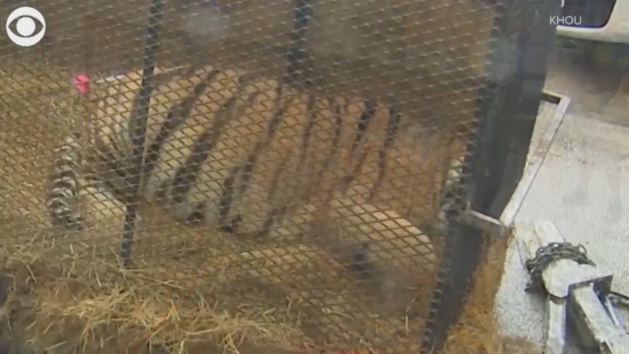 Houston Pot Smokers Find Half-Ton Tiger In Vacant Home