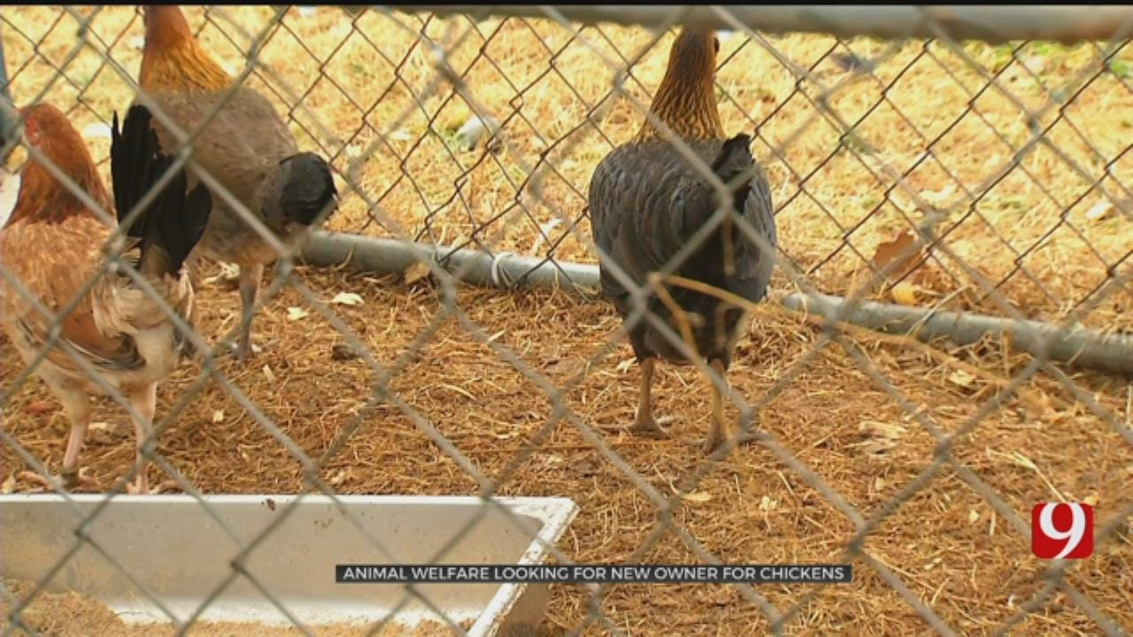 OKC Animal Welfare Looks For New Home For Chickens Seized In Possible Cockfighting Operation