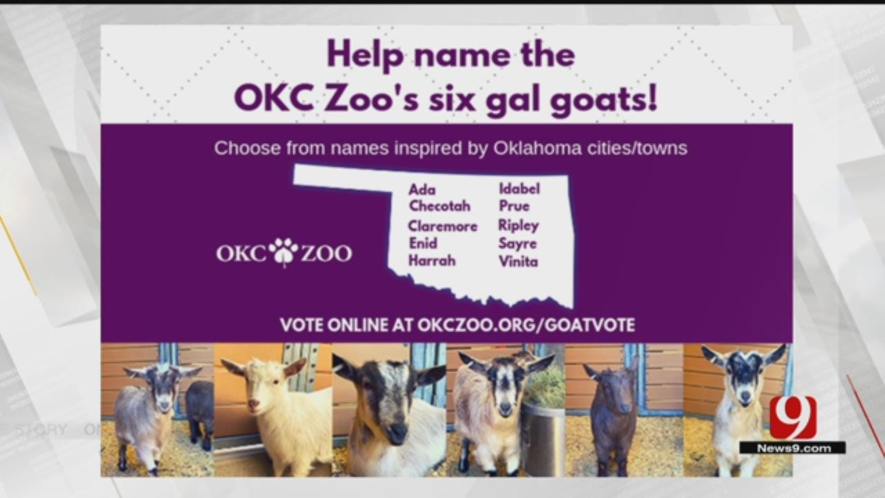 OKC Zoo Holding Vote To Name New Pigmy Goats