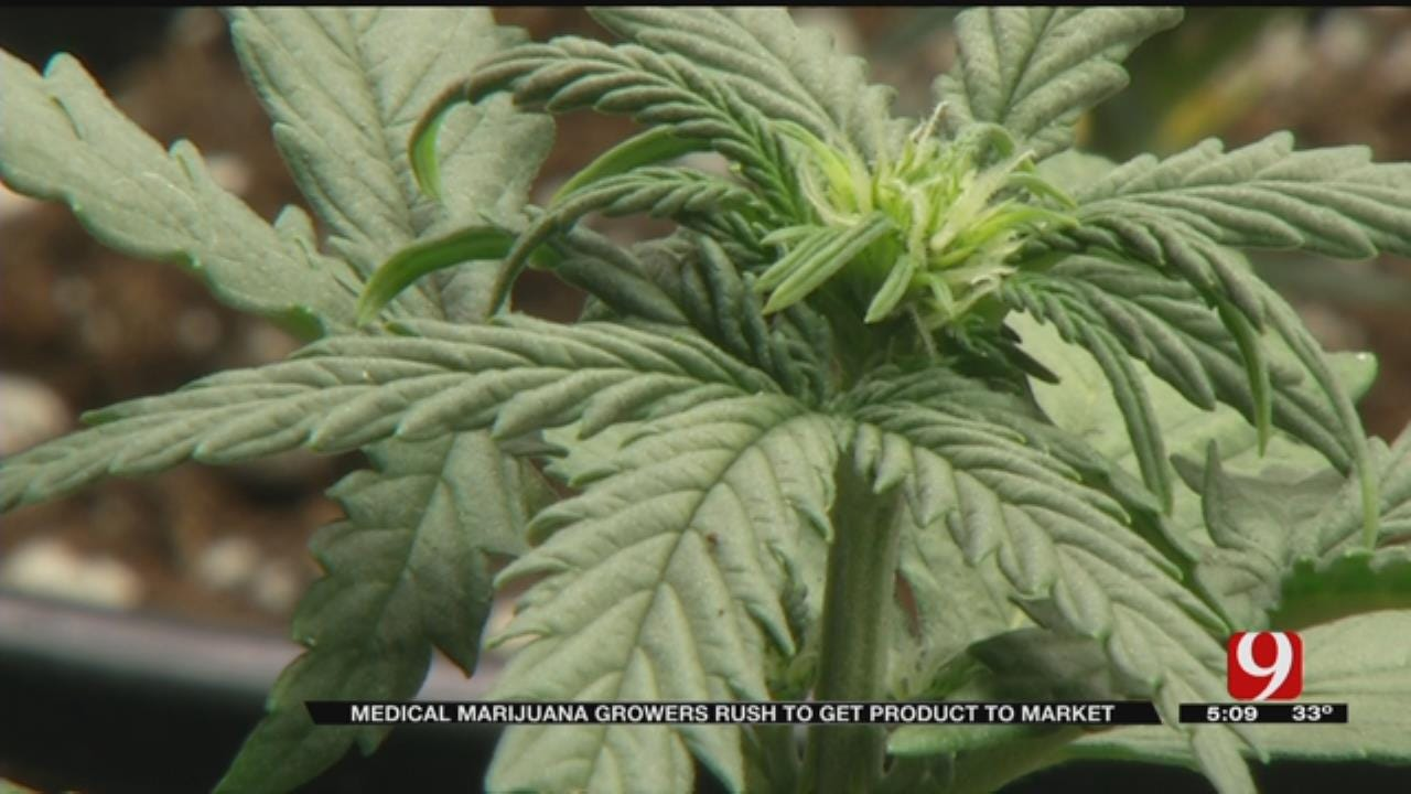 Medical Marijuana Growers Rush To Get Product To Market