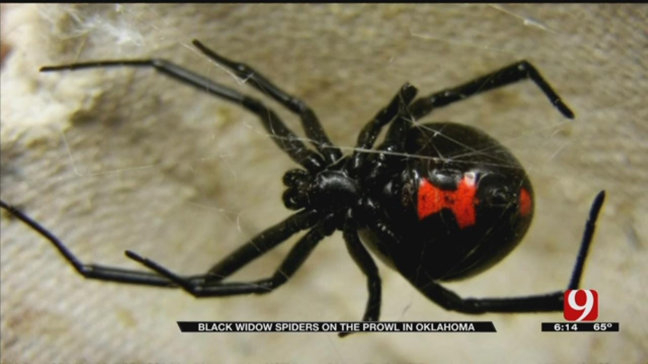 Black Widow Spider Bites On The Rise In Oklahoma