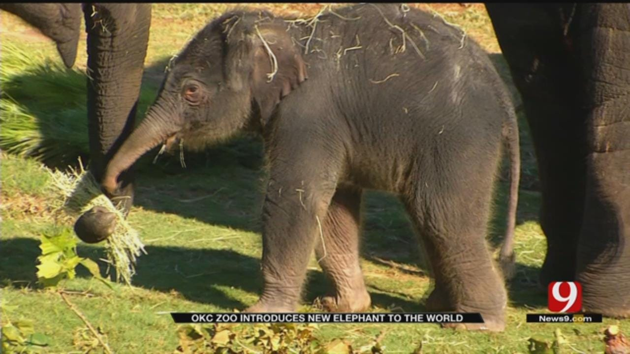 OKC Zoo Introduces New Baby Elephant To The Public
