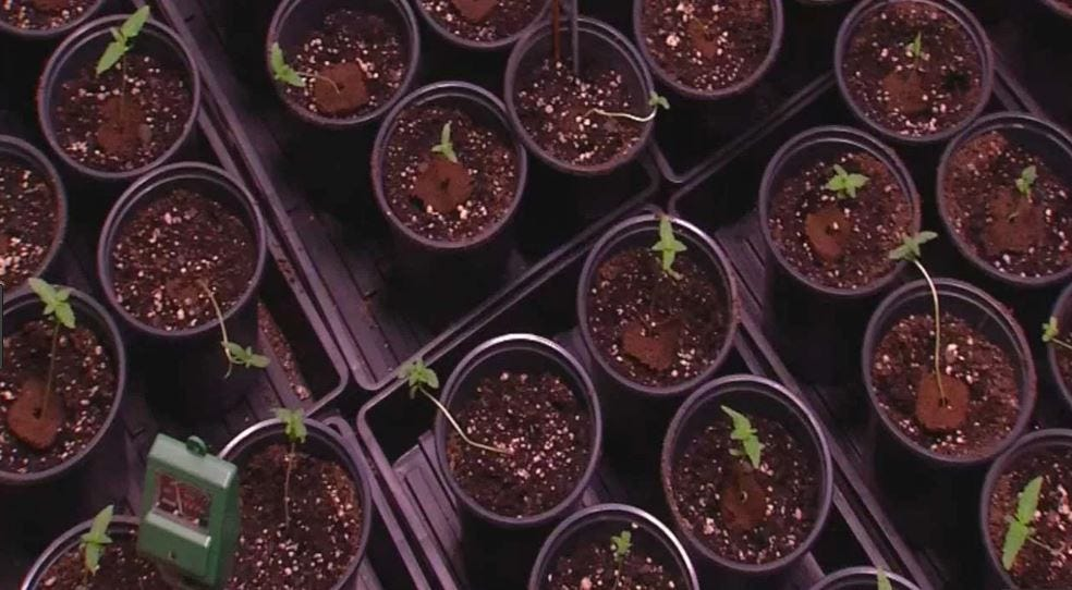 A Look Inside: Metro Medical Marijuana Grow Operation