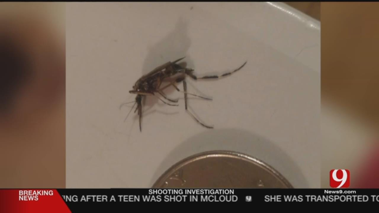 Rare Large Breed Of Mosquito In Oklahoma