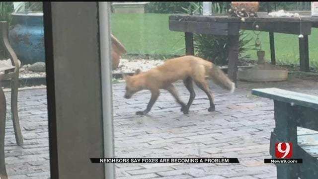 Residents Say Foxes Are Becoming A Problem In Metro Neighborhood
