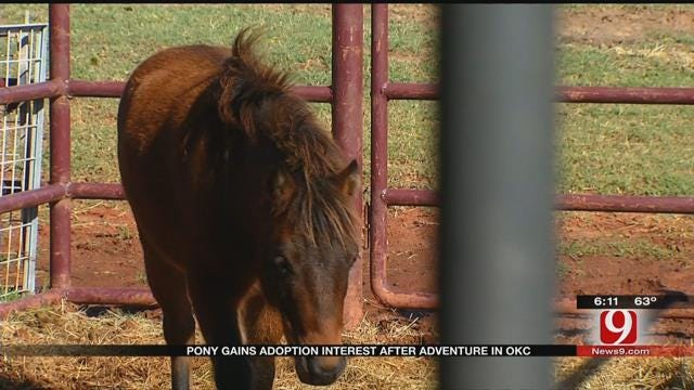 Loose Pony Gains Adoption Interest After Adventure In OKC