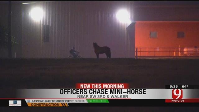 Multiple Agencies Capture Mini Horse On The Loose In Downtown OKC