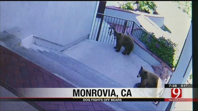 Dog Fights Off Bears From Home