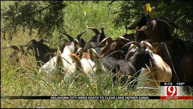 OKC Using Goat Power To Clear Bush By Hefner Canal
