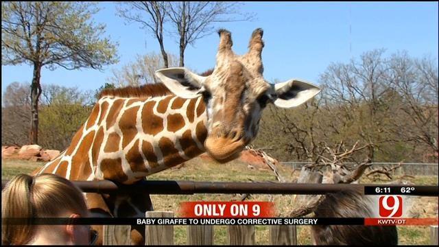 Baby Giraffe At OKC Zoo To Undergo Heart Surgery