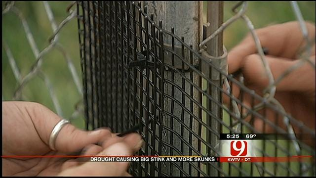 Skunks Invade Properties Around Lake Hefner