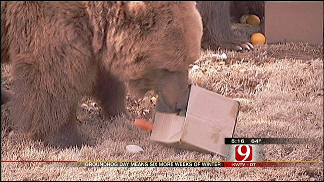 Bears At OKC Zoo Taking Over The Groundhog Prediction