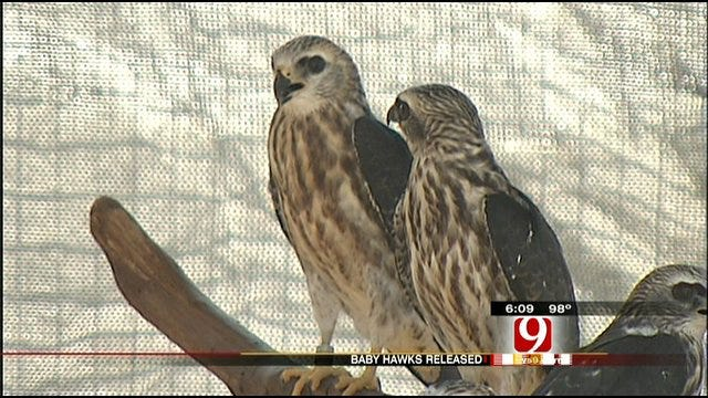 Mississippi Kites Released By WildCare Foundation