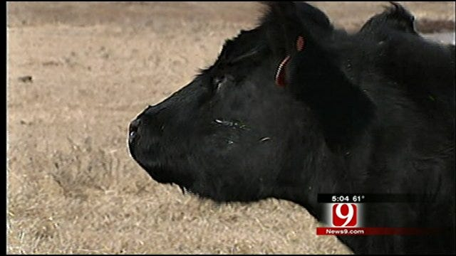 Oklahoma Ranchers Lose Cattle After Winter Weather