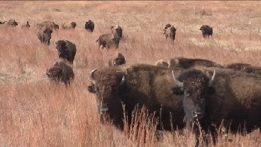 American Bison Make Way To Concho