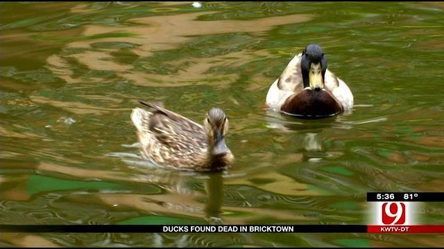 Several Dead Ducks Found Along Bricktown Canal