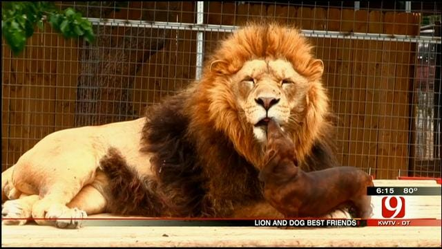Lion At Wynnewood Zoo Becomes Best Friends With Wiener Dog