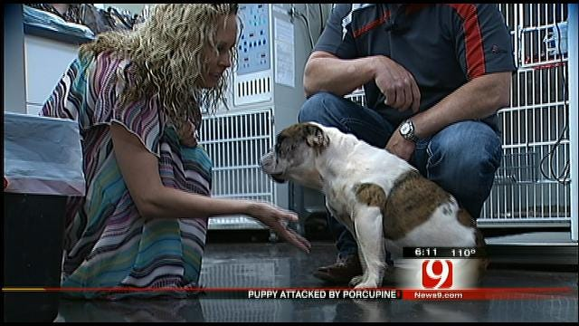 Bella The Bulldog Recovering After Prickly Encounter
