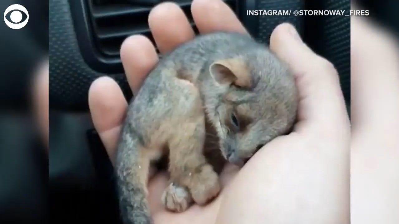 WATCH: Farmer Rescues Baby Ringtail Possum In Australia