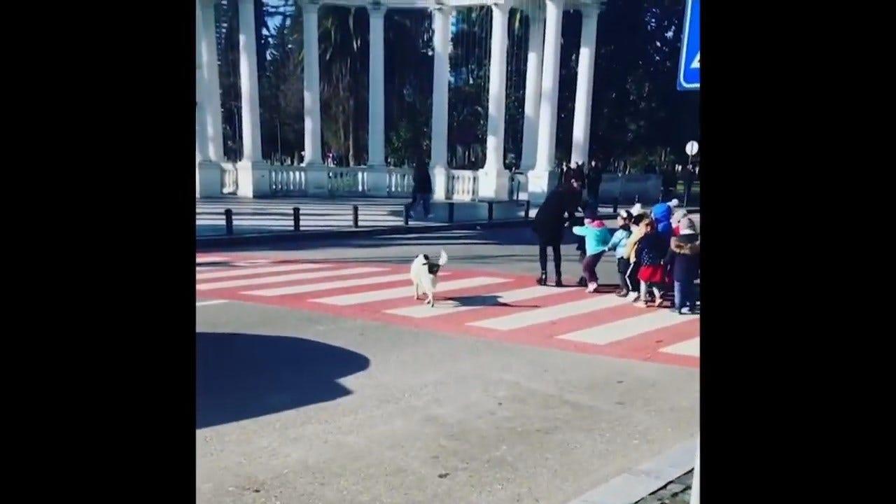 WATCH: A Stray Dog Helps Kindergarten Children Cross A Street