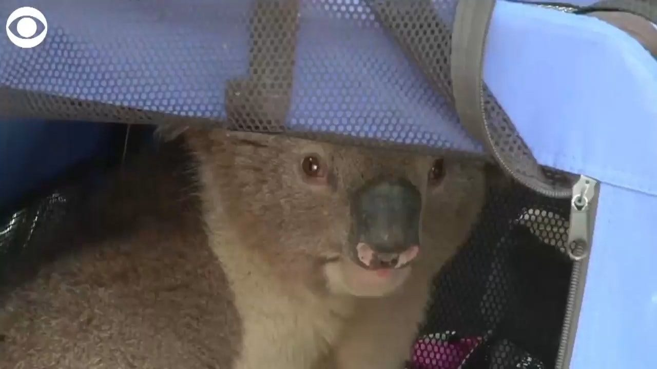 WATCH: Koala With Burnt Paws Rescued From Tree